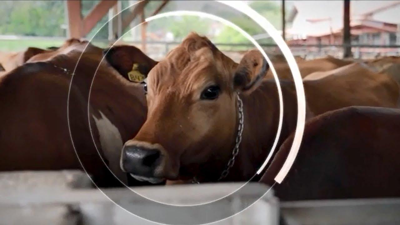 الأبقار السعيدة تساعد على إنقاذ كوكب الأرض الزراعة الذكية المراعية للظروف المناخية في كوستاريكا Youtube