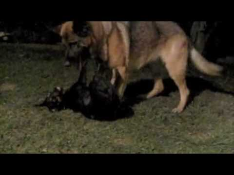 Dog Fight: Doberman/rottweiler puppy vs German Shepherd ...