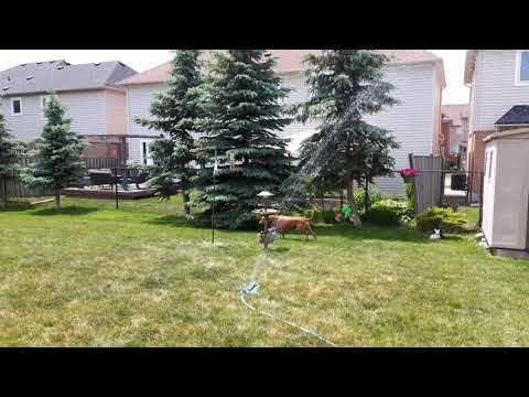 Zuko, the Pharaoh Hound, Playing with the Lawn Sprinkler!