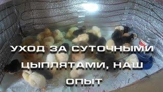 Уход за суточными цыплятами, наш опыт