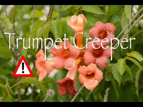 Trumpet Creeper: Cautions