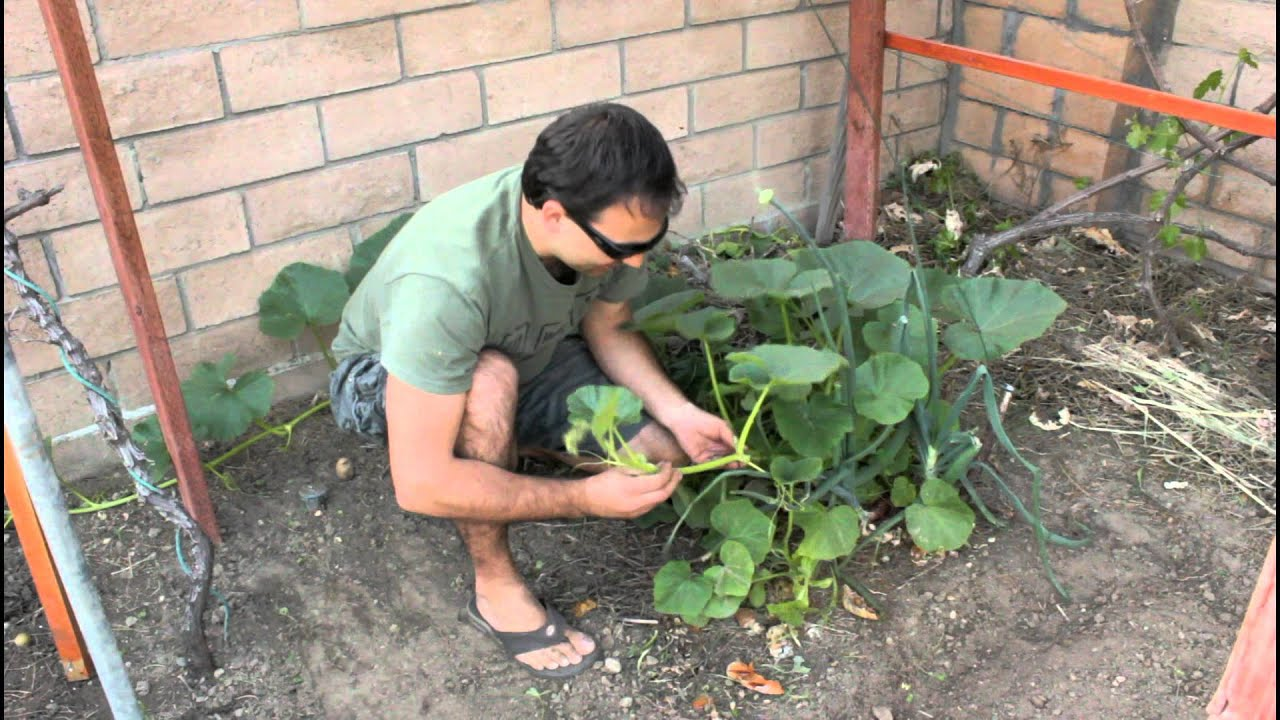 How To Plant Pumpkin Seeds With California Gardener Youtube