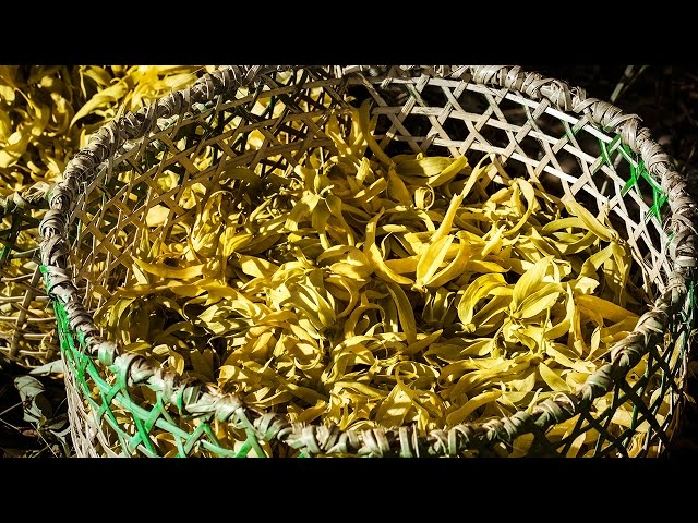 The Quest for Essences Episode 5 – Ylang Ylang in Nosy Be