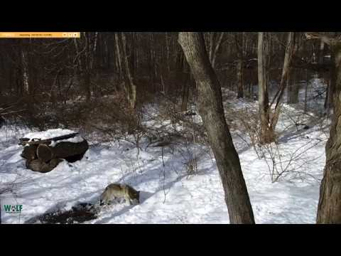 On live cam at New York Wolf Conservation Center dedicated to saving endangered wolves