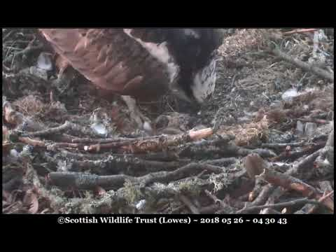 Surely there are 3 osplets here? No ~ ©Scottish Wildlife Trust, Lowes