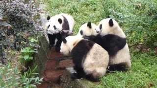 Ever wondered what noise pandas make?