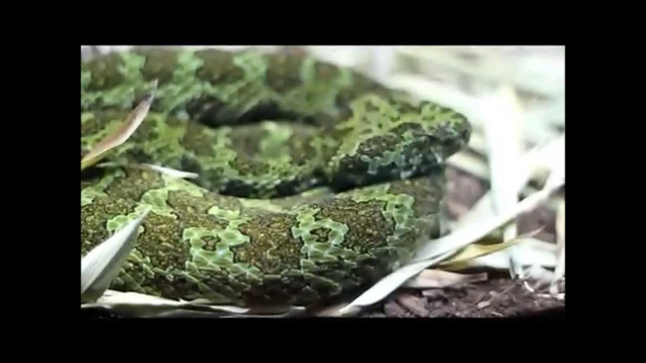 Venomous snakes ( green mamba, Horned Viper, pitviper ...