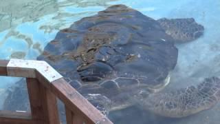 Япония. Гиганские морские черепахи аквариума Эносима /Japan. Giant sea turtles Enoshima aquarium