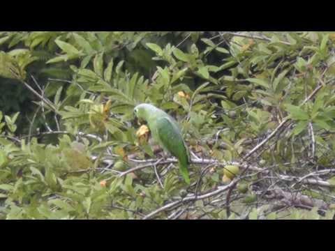 PARROT-- FARMER SET UP TRAP TO CATCH HIM!! SMART BIRD!!