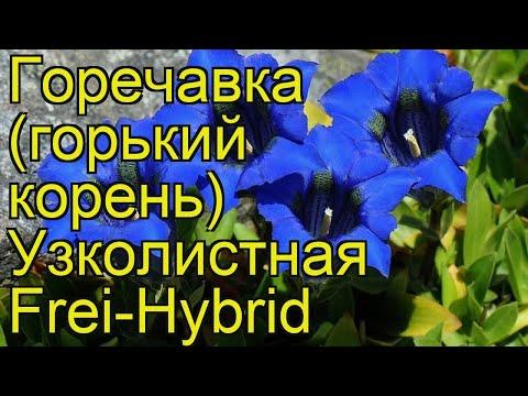 Горечавка узколистная Фрей-Гибрид. Краткий обзор, описание gentiana angustifolia Frei-Hybrid