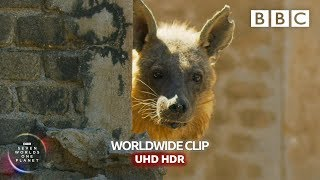 Hyena takes up residence in abandoned town - Seven Worlds, One Planet | BBC Earth