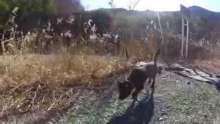 甲斐市の甲斐犬ナナ.