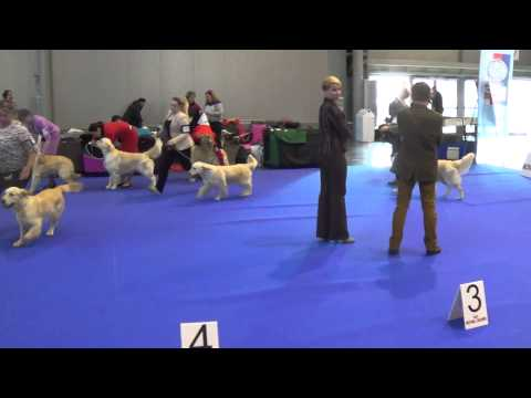 BEST OF BREED COMPETITION 2nd DAY DUO CACIB BRNO golden retriever