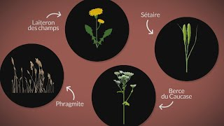 La semaine verte   Capsule chiffrée #98 - Les plantes exotiques envahissantes