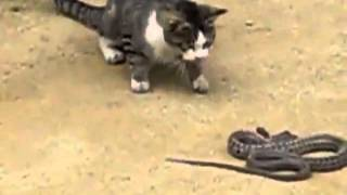 Cat vs snake in a fight to the death! See who wins!