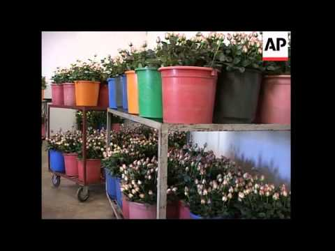 Flower industry in Ethiopia flourishes as Valentine's day approaches