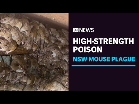 NSW govt acquires high-strength poison to tackle mouse plague that could reach Sydney   ABC News