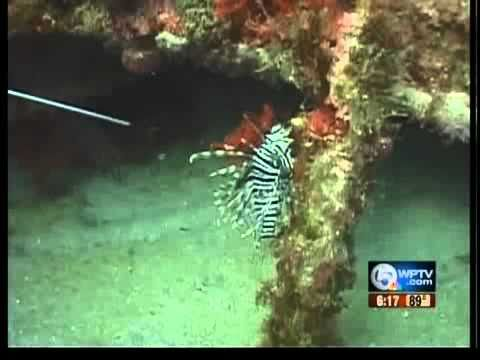 New Device To Destroy 'lion Fish'