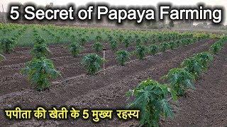 5 Secret of Papaya Farming |पपीता की खेती के 5 मुख्य बिंदु |पपीता की खेती की जानकारी |papaya farming