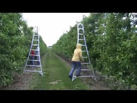 Large Orchard - Ladder Use