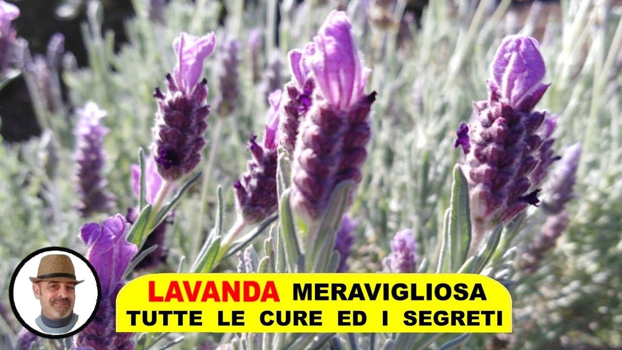 Orchidee Meravigliose Trucchi E Segreti lavanda meravigliosa trucchi e segreti, concimazione, annaffiatura,  potatura, talea e malattie