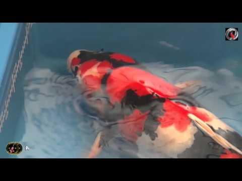 Les gros Koi de poisson d'or 2016