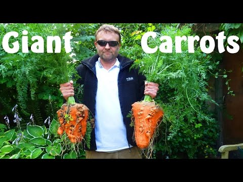 Allotment Diary : Planting the Giant Carrots in the Polytunnel