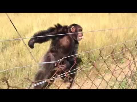 Chimp sound music Experiment/2018