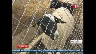 Гладкошерстную породу овец будут разводить в Беларуси