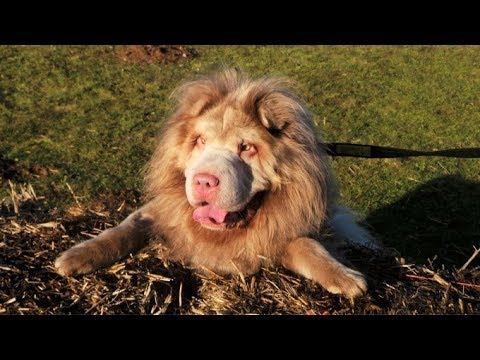 Top 10 Chinese Dog Breeds - Aspin