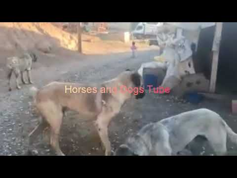 Kangal Dog at Farm Video Collection - YouTube