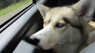 Wags To Whiskers Pet Store - Going Shopping! - Siberian Husky