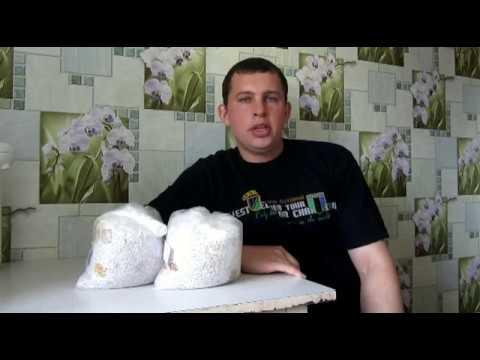 как получить зерновой мицелий из мицелия на палочках