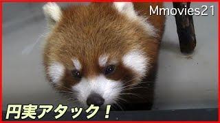 Red Pandas at the Maruyama zoo in Hokkaido,Japan. Red Panda Gin (mo...