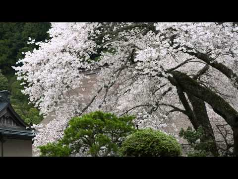Cherry Blossom Viewing【UNESCO World Heritage】Koyasan Shingon Buddhism Kongobuji explained