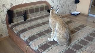 Рысь Даша и котята