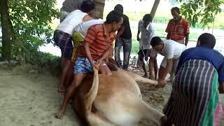 Big Cow Qurbani Bangladesh 2018 Part 2  Qurbani Videos
