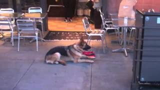 The Good Dog Minute 5/24/13: Training A Seriously Aggressive German Shepherd