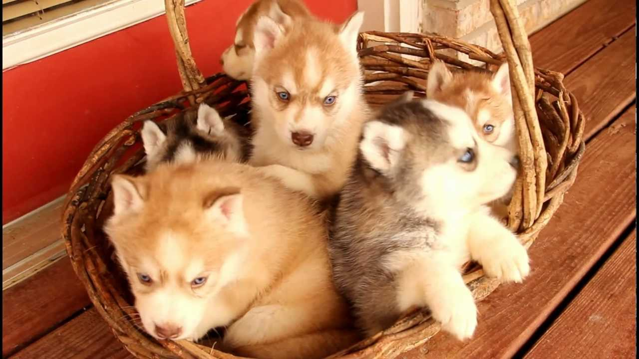 Siberian Husky Puppies For Sale Youtube