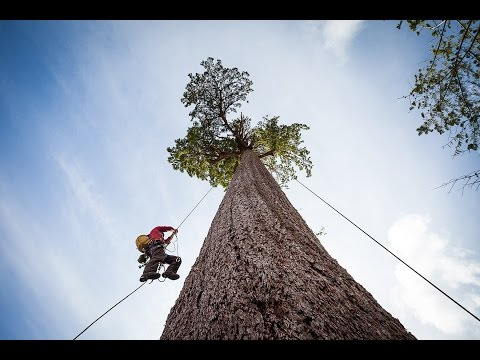 Climbing Big Lonely Doug, Canada's 2nd Largest Douglas-fir Tree