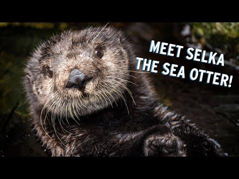 Meet Selka The Sea Otter!   Monterey Bay Aquarium's Pawesome Ladies