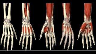 Скачать 3D Анатомия человека мышцы кисти 3D Anatomy Human Muscles Hand