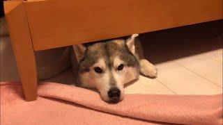 モゾモゾ動きながら寝ることで、ベッドの下に入り込んでいます。 夜寝て...