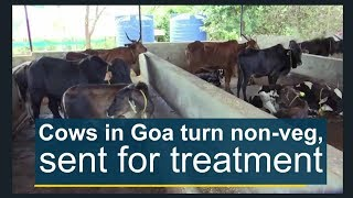 Cows in Goa turn non-veg, sent for treatment