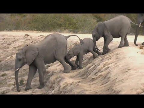 SafariLive June 13 - The Elephant herds...