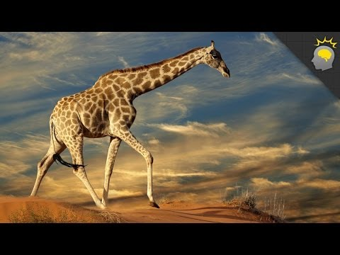 5 Amazing Giraffe Facts - Science on the Web #51