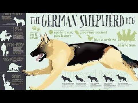 Know about Breed :- German Shepherd Dog (GSD)