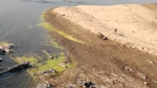 crocodile steals african wild dogs kill