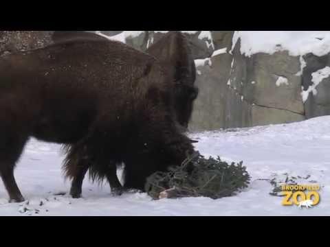 Winter Animals at Brookfield Zoo
