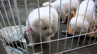 2012.10.7撮影。 生後27日の紀州犬・瑠奈の赤ちゃんです^^ ブログ【Pr...